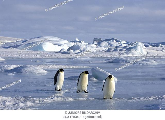 three emperor penguins - Aptenodytes forsteri