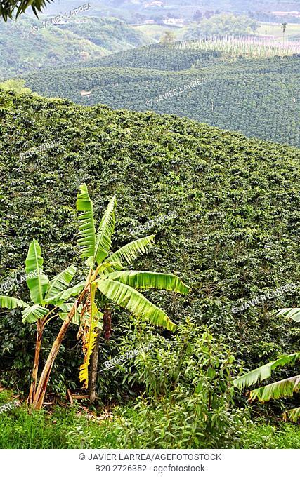 Cafetales, Coffee plantations, Coffee Cultural Landscape, Quindio, Colombia, South America