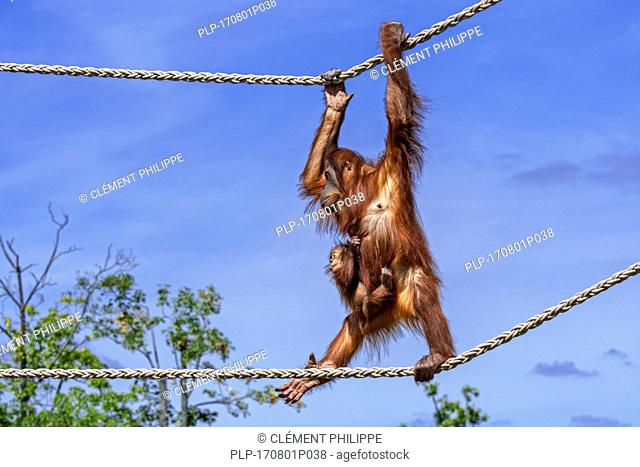 Sumatran orangutan / orang-utang (Pongo abelii) female with baby clinging on her belly traversing on ropes in zoo, native to Sumatra