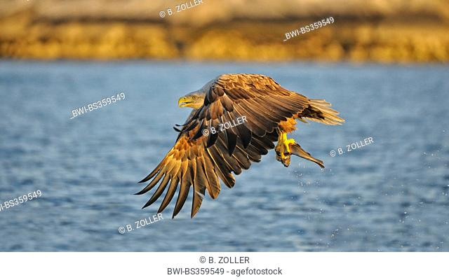 white-tailed sea eagle (Haliaeetus albicilla), flying in the evening light with prey, Norway