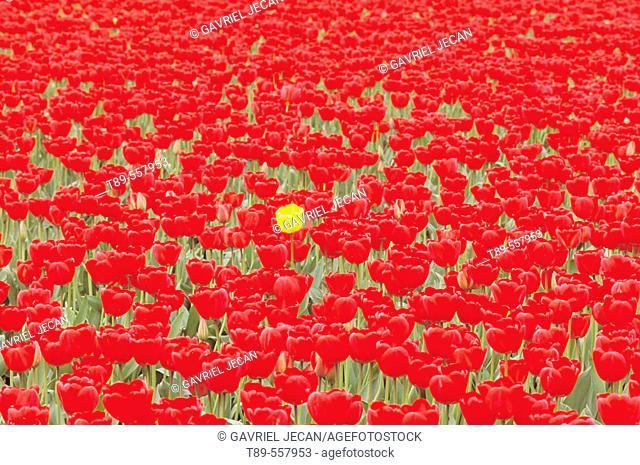USA , Washington , Skagrt Valley, Tulip fields
