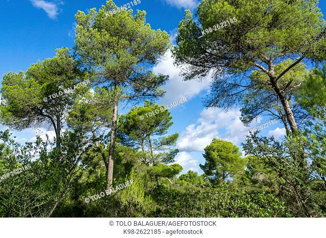 Spain, Balearic Islands, Majorca, Santa Margarida, Bay of Alcudia, Pine wood in Son Real Dunes