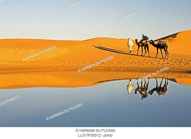 Dromedary Camel Camelus dromedarius Caravan being Led away from a Waterhole  Merzouga, Erg Chebi, Sahara desert, Morocco, North Africa