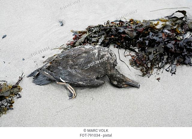 A dead duck on a beach Stock Photos and Images | age fotostock