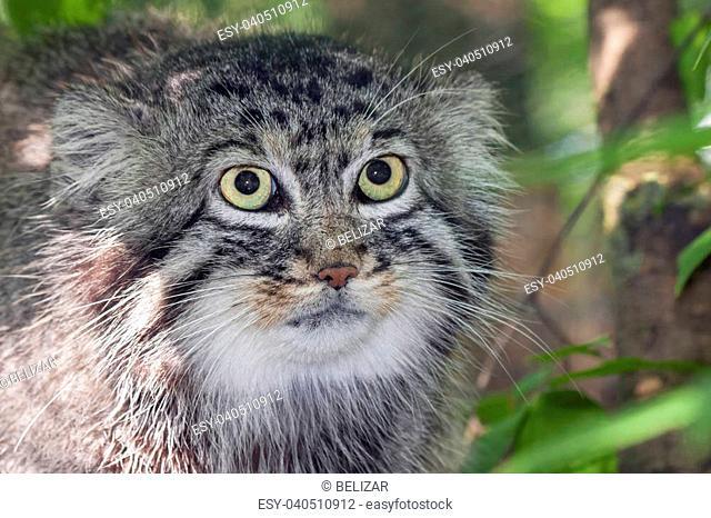 Portrait of a Pallas's cat or manul (Felis manul)