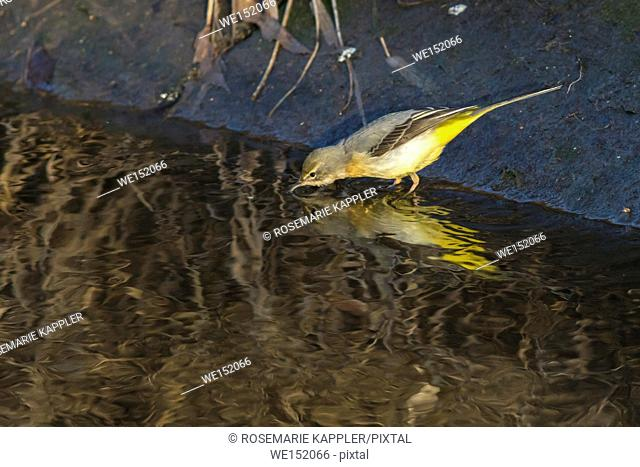 Germany, Saarland, Homburg - A grey wagtail is searching for fodder on the riverside