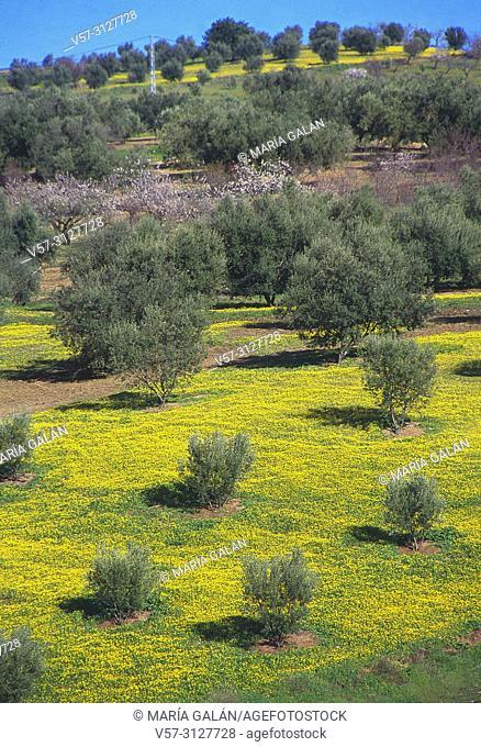 Olive grove. La Axarquia, Malaga province, Andalucia, Spain