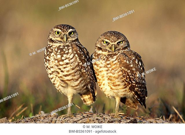burrowing owl (Athene cunicularia), pair stands on the ground, USA, Florida