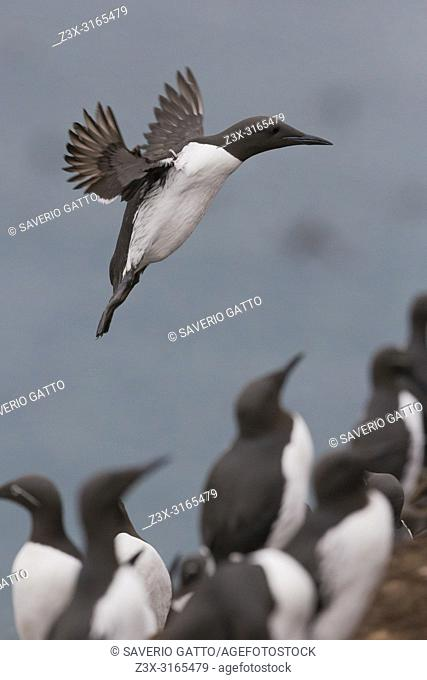 Common Murre (Uria aalge), adult in flight