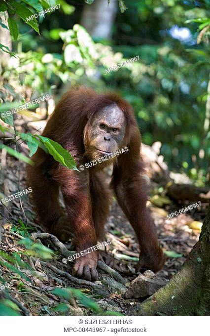 Sumatran Orangutan (Pongo abelii) sub-adult male, Gunung Leuser National Park, north Sumatra, Indonesia