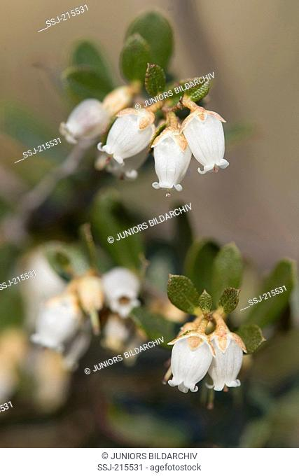 Leatherleaf (Chamaedaphne calyculata), flowering twigs. Poland
