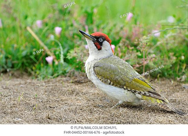 Green Woodpecker Picus viridis adult male, standing on ground, Oxfordshire, England, july