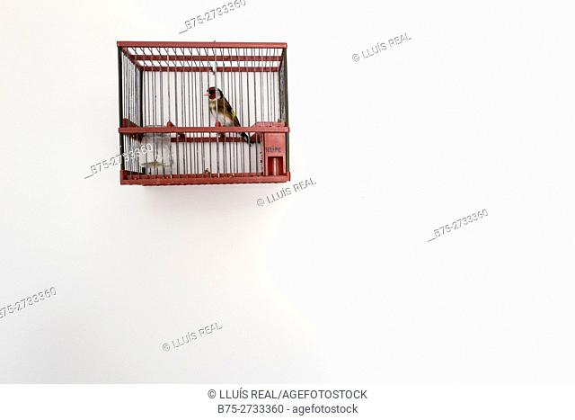 Goldfinch in cage. Minorca, Balearic Islands, Spain