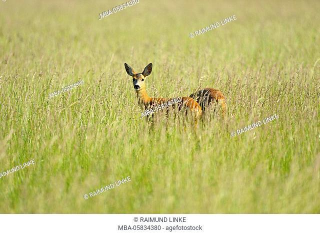 European Roe Deer, Capreolus capreolus, in Meadow, Spring, Apetlon, Lake Neusiedl, Burgenland, Austria