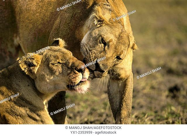 Lionesses grooming after a feast of buffalo meat