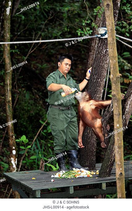Orang Utan,Pongo pygmaeus,Sepilok Rehabilitation Centre,Sabah,Borneo,Malaysia,Asia,adult female with keeper feeding