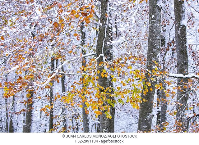 Beech (Fagus sylvatica), Snowy forest in autumn, Sierra Cebollera Natural Park, La Rioja, Spain, Europe