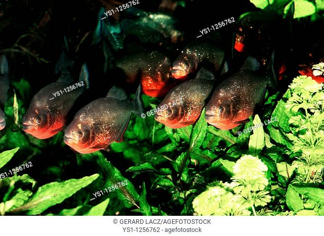 RED BELLIED PIRANHA pygocentrus nattereri, GROUP SWIMMING THROUGH AQUATIC PLANTS