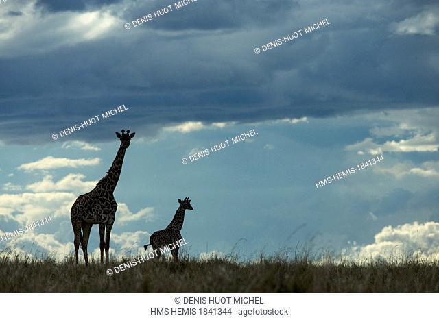 Kenya, Masai-Mara game reserve, Girafe masai (Giraffa camelopardalis), mother and young