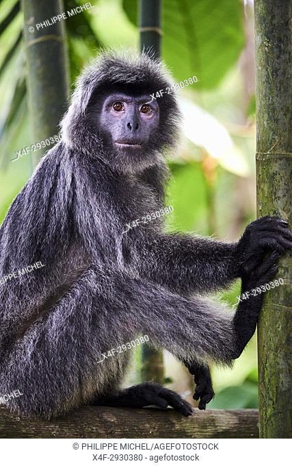 Singapore, Singapore Zoological Gardens, Mandai Zoo, langur monkey