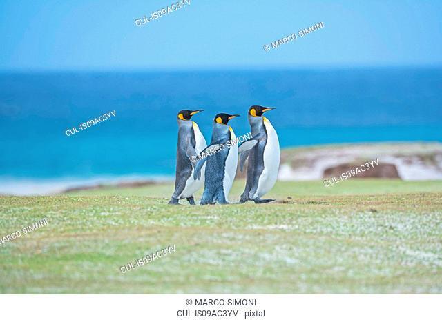 Three King penguins (Aptenodytes patagonicus) walking together, Falkland Islands