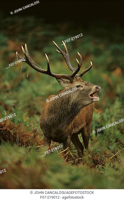 European Red Deer (Cervus elaphus). England