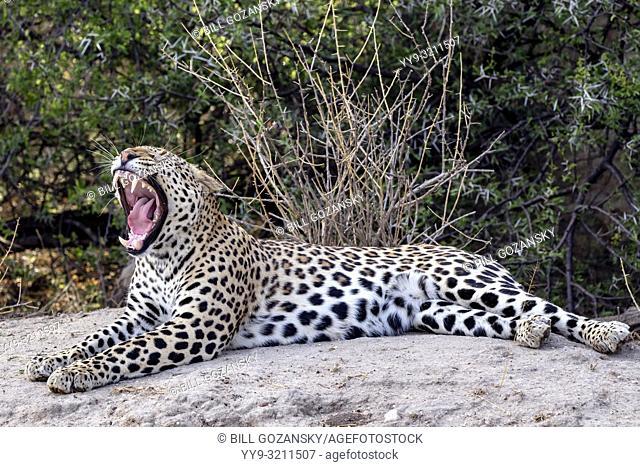 Yawning Leopard (Panthera pardus) - Okonjima Nature Reserve, Namibia, Africa