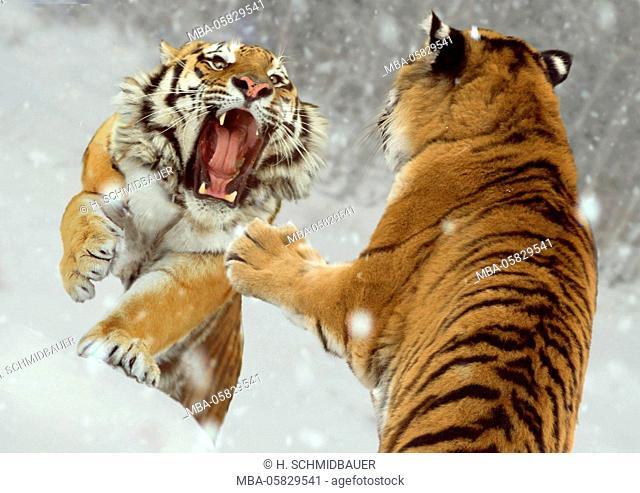 Siberian tigers, Panthera tigris altaica, fight