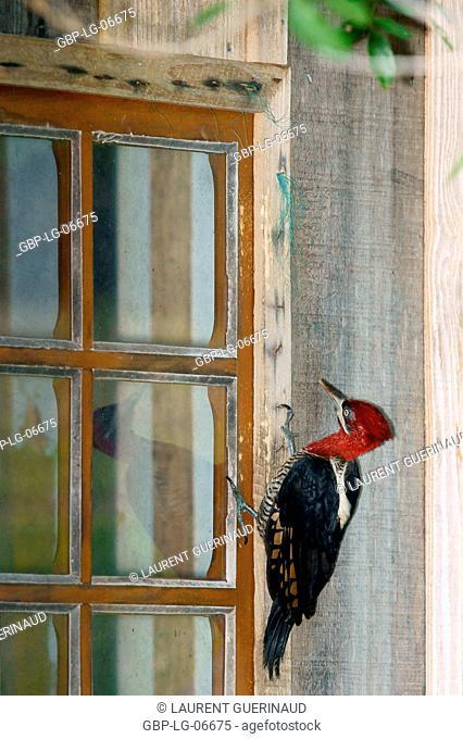 Bird, Prick-wood-king, Ilha do Mel, Encantadas, Paraná, Brazil