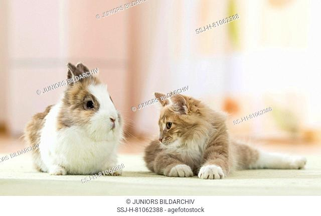 American Longhair, Maine Coon. Kitten lying next to Lionhead Rabbit on a rug. Germany