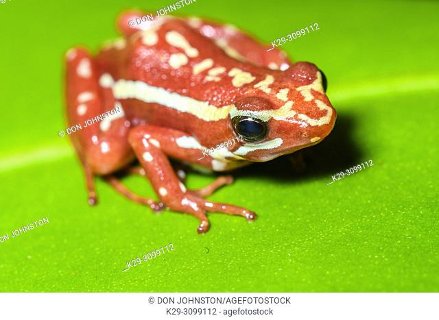 Phantasmal poison frog or phantasmal poison-arrow frog (Epipedobates tricolor), Understory Enterprises, Captive raised, Native to: Ecuador