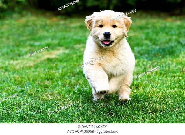 An 8 week old Golden Retriever puppy playing