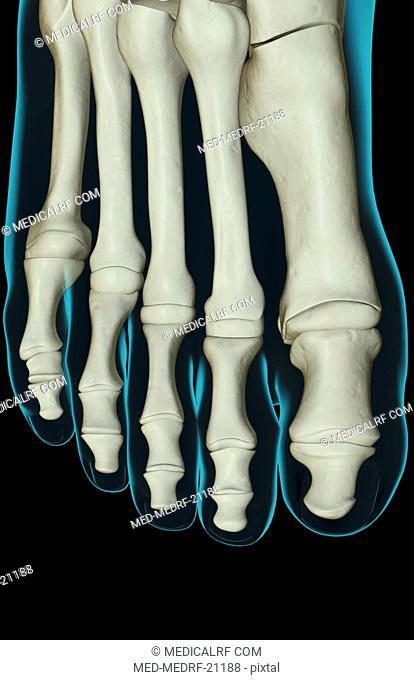 The bones of the foot