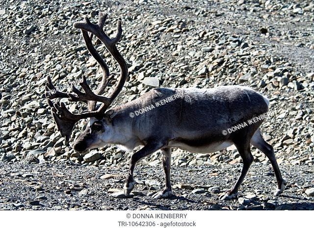 Svalbard Caribou Rangifer tarandus platyrhynchus buck Longyearbyen Spitsbergen Norway