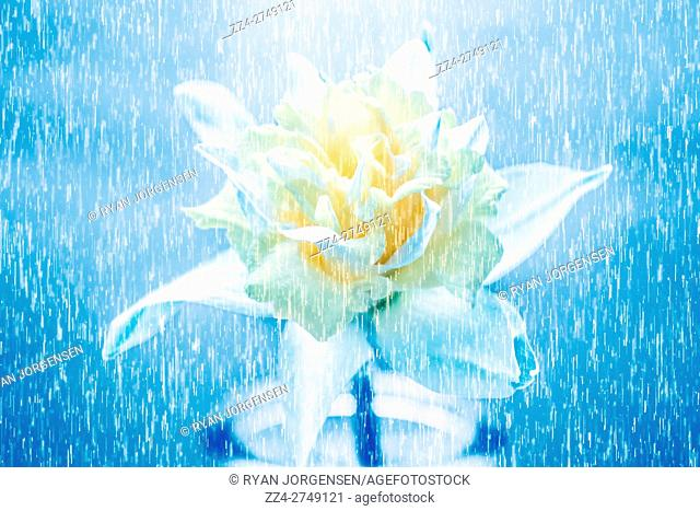 Artwork of bright white daffodil flower blooming in rainy showers. Digital art