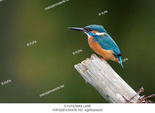 Common Kingfisher Alcedo atthis adult, perched on post, Worcestershire, England, october