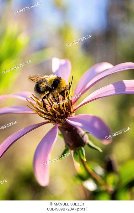 Close up side view of bee on purple flower, Nahuel Huapi National Park, Rio Negro, Argentina