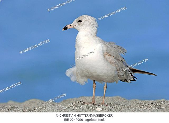 Ring-billed Gull (Larus delawarensis), Sanibel Island, Florida, USA
