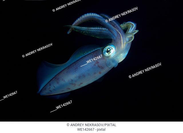 Inshore squid, Bigfin reef squid, Inshore squid, Tiger squid, Reef squid or Calamar manopla (Sepioteuthis lessoniana) Red sea, Egypt, Africa
