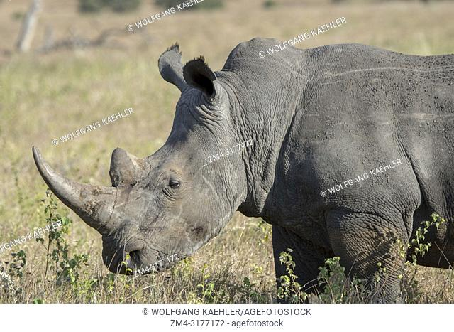 Close-up of an endangered white rhinoceros or square-lipped rhinoceros (Ceratotherium simum) at the Lewa Wildlife Conservancy in Kenya