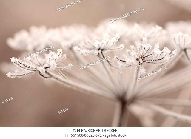 Wild Angelica Angelica sylvestris close-up of seedhead with hoar frost, Powys, Wales, winter