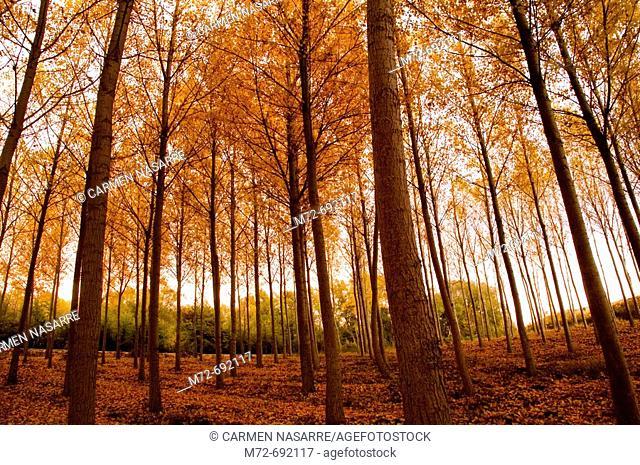 Poplar trees. Soria province, Castilla-León, Spain