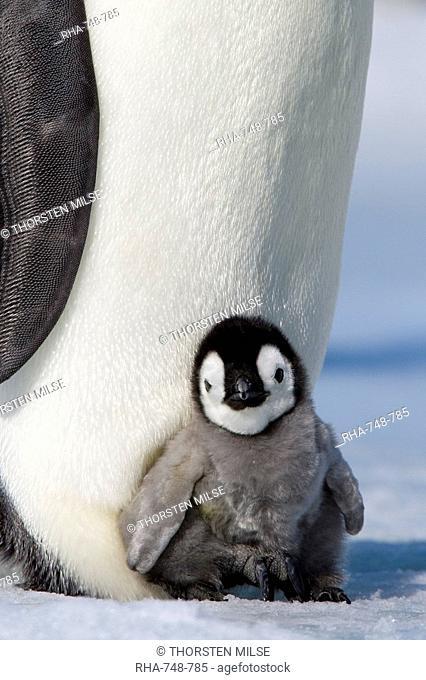 Emperor penguin chick Aptenodytes forsteri, Snow Hill Island, Weddell Sea, Antarctica, Polar Regions