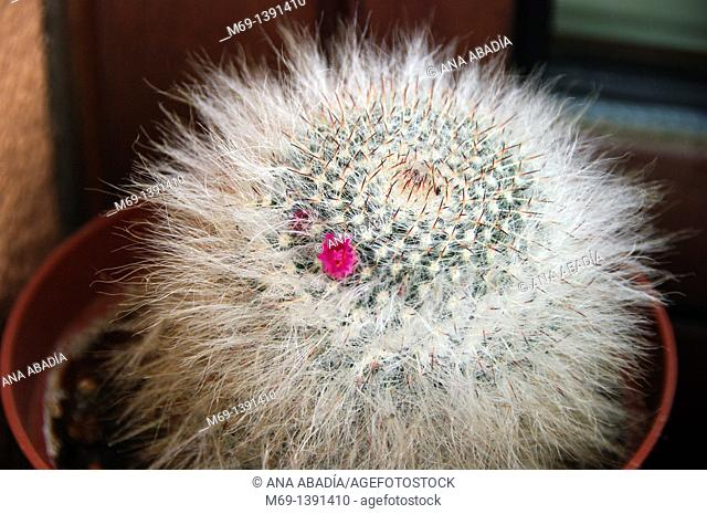 Pink flower of whiete cactus