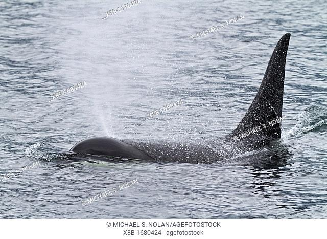 Adult bull killer whale Orcinus orca surfacing in Chatham Strait, Southeast Alaska, Pacific Ocean