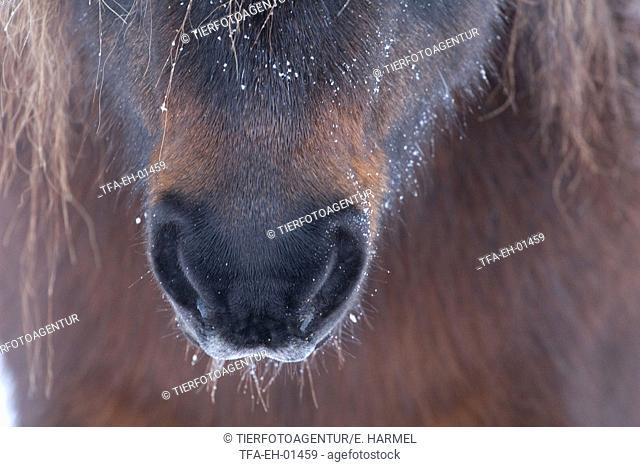 Icelandic horse mouth