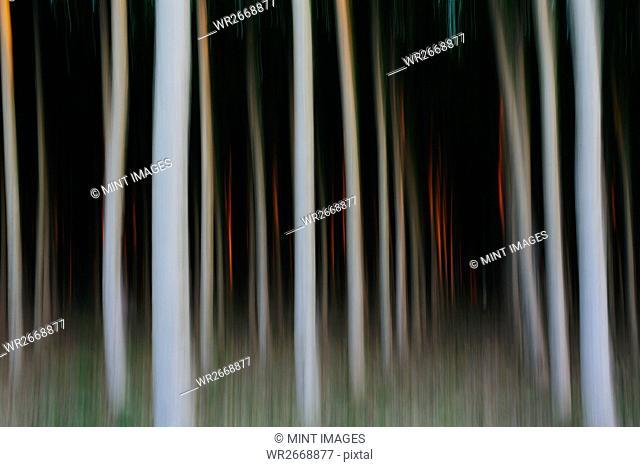A plantation of poplar trees, commercial tree farm. White bark