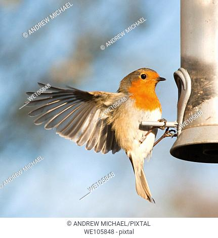 A European Robin Erithacus rubecula clinging to a feeder  UK