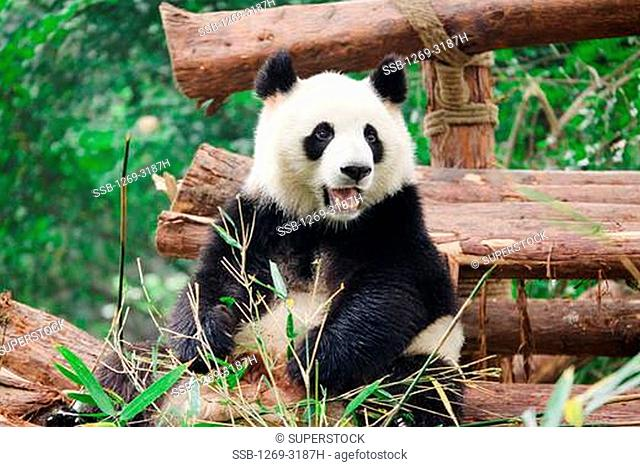Giant panda Ailuropoda melanoleuca, Chengdu Panda Base Of Giant Panda Breeding, Chengdu, Sichuan Province, China