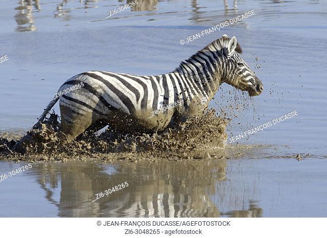 Burchell's zebra (Equus quagga burchellii) in muddy water, running through the Okaukuejo waterhole, Etosha National Park, Namibia, Africa